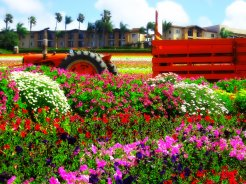Carlsbad - Flower fields 044